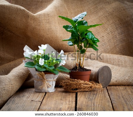 white Saintpaulias flowers and coffee plant tree in paper packaging in paper packaging, on wooden background - stock photo
