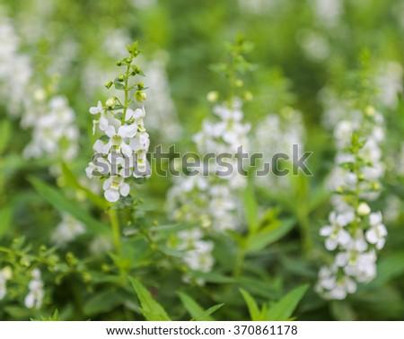 White Salvia sage flower bloom in garden , soft focus - stock photo