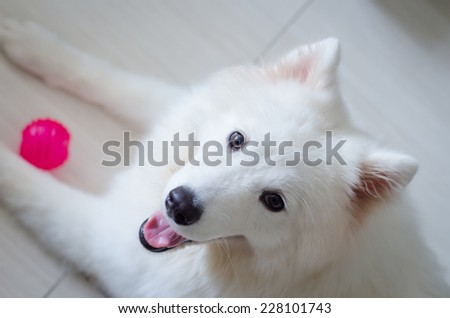 White Samoyed dog puppy close up portrait