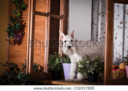 white schnauzer dog in interior