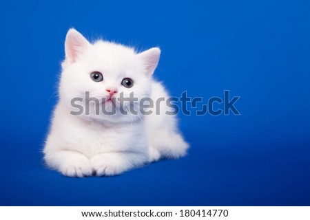 White Scottish purebred cat is sitting on blue background - stock photo