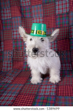 White Scottish terrier puppy wearing green St Patricks day hat on red plaid background - stock photo