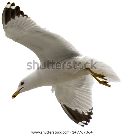 White Seagull in Mid Air Flight with Wings Spanned