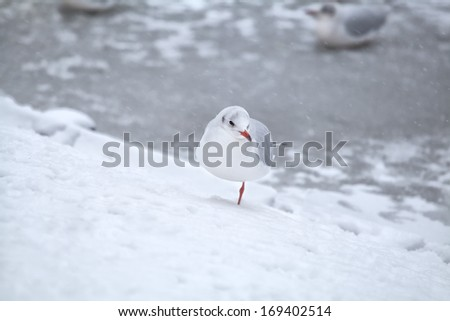white seagull on snow during snowstorm, winter in Netherlands - stock photo