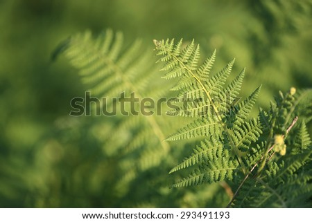 White shadow of a fern