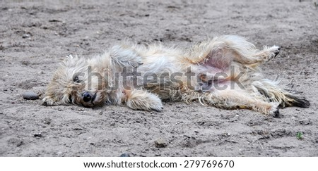 white shaggy dog lying on the ground in a funny pose - stock photo