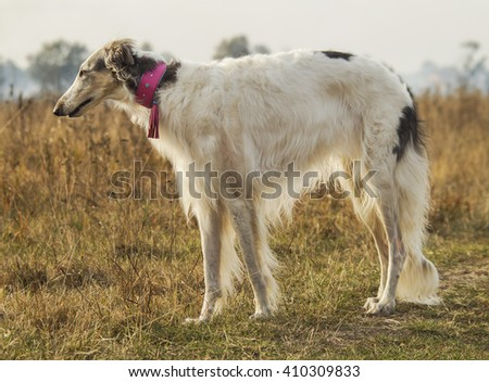 white shaggy dog walking in the field near the dry grass