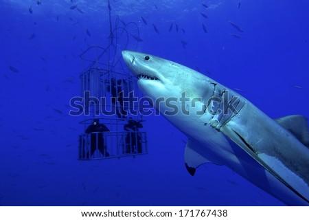 White shark, cage / great white shark swims around the cage - stock photo