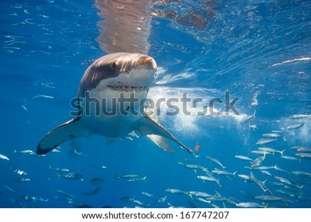 White shark near surface.