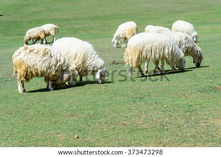 White Sheep and lamp eating grass in countryside farm - stock photo