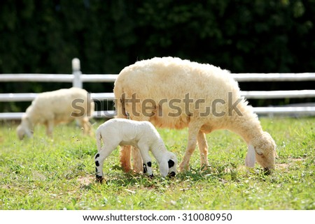 White Sheep and lamp eating grass in countryside farm, Thailand. - stock photo
