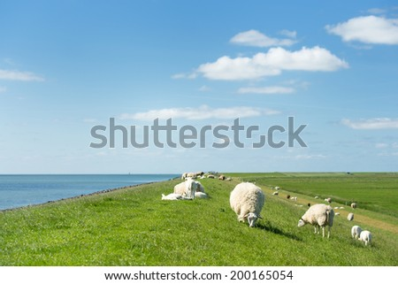 White sheep at the dike on Dutch wadden island Terschelling - stock photo