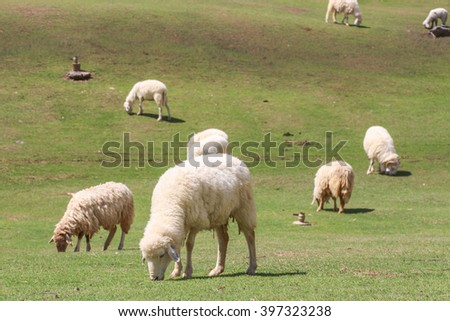 White sheep eating grass in meadow background - stock photo