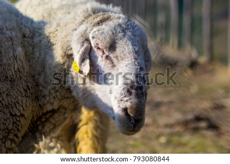 White sheep grazing in the meadow