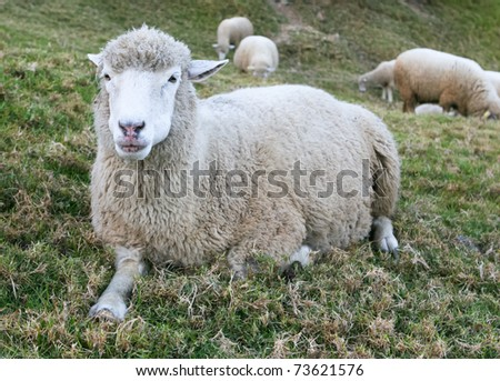 White Sheep in a Green Field - stock photo