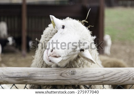 White sheep in rural farm, animals and nature - stock photo