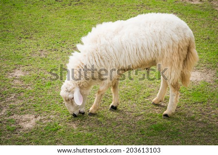 White sheep in the field