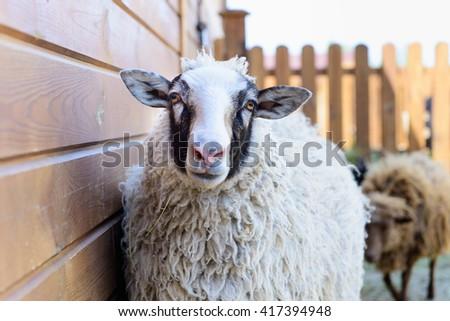 white sheep looking at the camera farm animal closeup - stock photo