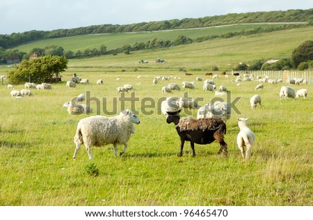 White sheep looking at ugly half-cut fur black sheep on green field, with the view of other white sheep