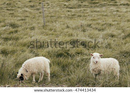 White sheeps on meadow on Iceland
