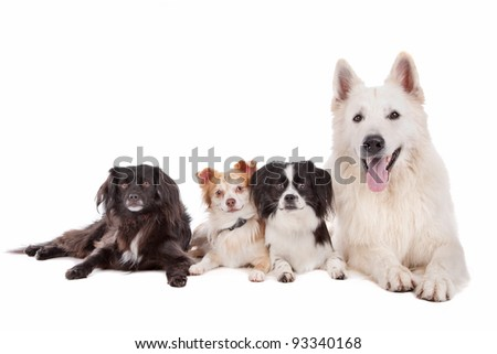 white shepherd and tree mixed breed dogs in front of a white background