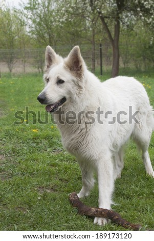 White Shepherd / Berger Blanc Suisse with a wood stick standing on a lawn - stock photo
