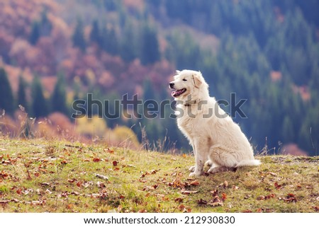 white shepherd dog close up - stock photo