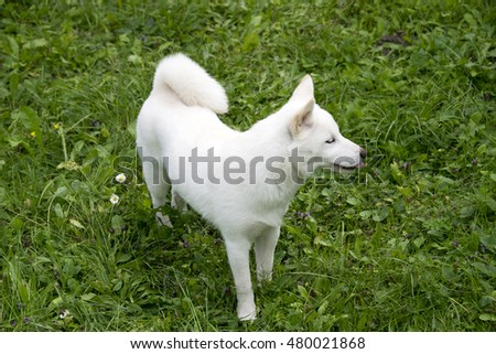 white shiba-inu puppy portrait on grass