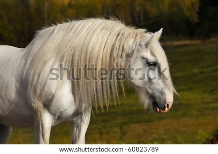 white shire horse in autumn - stock photo