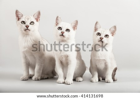 white short hair breed three kittens sit at grey background