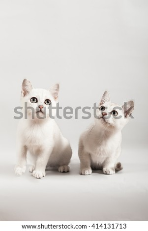 white short hair breed two kittens sit at grey background