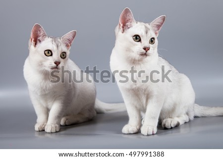 white short hair Burmilla breed two kittens sit at grey background