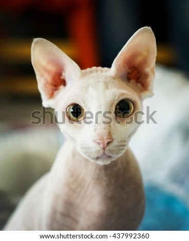 white short-haired cat sphynx with yellow eyes large ears and a pink nose