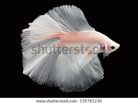 White Siam Fighting Fish Isolated on Black - stock photo
