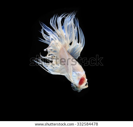 White Siamese fighting fish