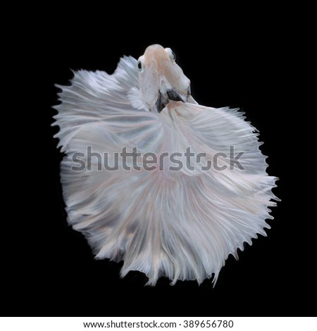 White Siamese fighting fish, betta fish isolated on Black