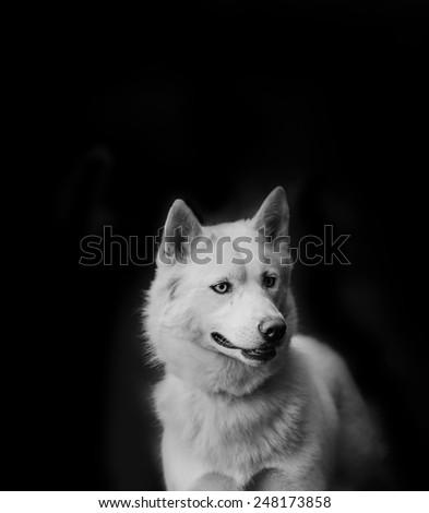 White siberian husky on a black background - stock photo