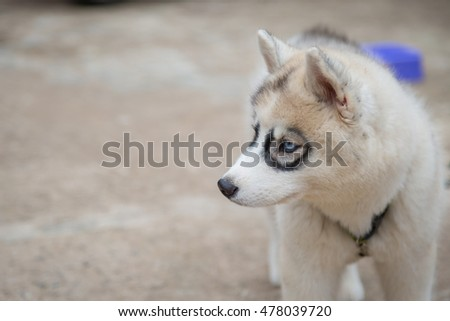 White Siberian Husky puppy looking for food