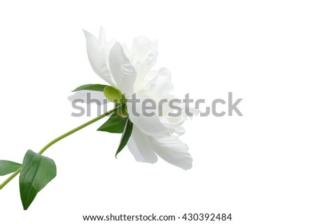 White single peony flower isolated on white with clipping paths - stock photo