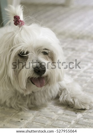 White small dog in playfulness. Portrait.