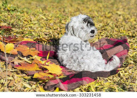white small Dog laying on a scarf in the  autumn sunny park