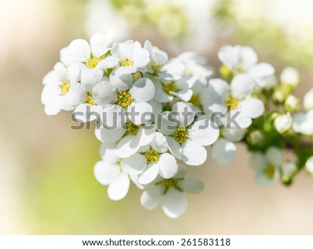 White small flower of the spiraea blooming in spring