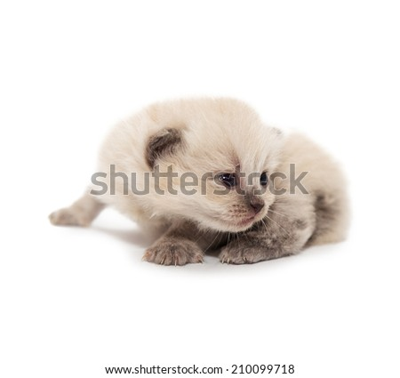 white small kitten Isolated on white background