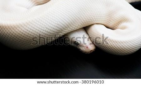 white snake - stock photo
