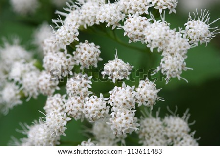 White Snakeroot Eupatorium rugosum flower in late summer