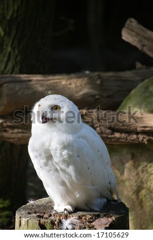 White snow owl sitting on a branch