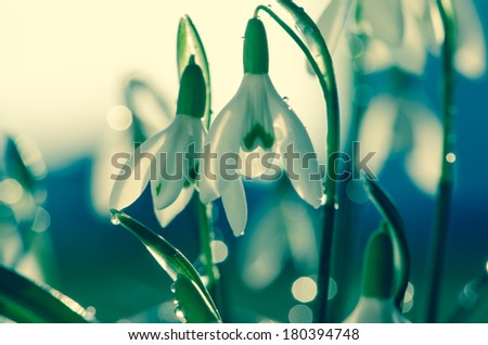 white snowdrop on haze background filtered effect - stock photo