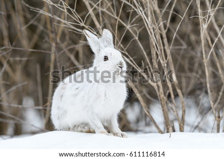 White Snowshoe Hare in Early Spring