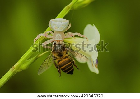 white spider eating bee - stock photo