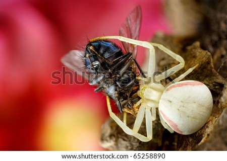 White spider Misumena vatia with prey